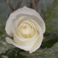 Rosa Individual Blanca