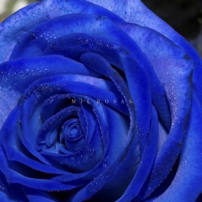 62e21be00 Rosa Individual de color Azul