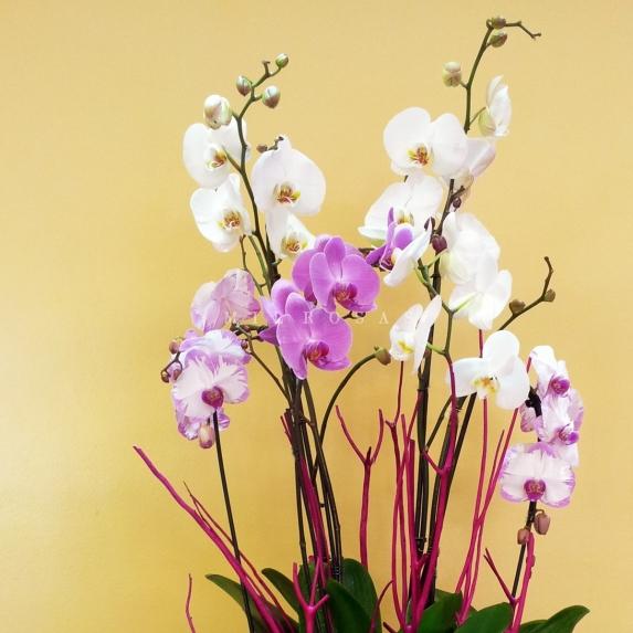 Orquideas Mix Cristal XXL